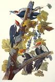 Pileated Woodpecker Poster van John James Audubon