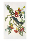 Gray Tyrant Print by John James Audubon