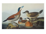 Ruddy Duck Prints by John James Audubon