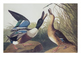 Shoveller Duck Prints by John James Audubon
