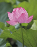 Pink Lotus Art by B. Tanaka