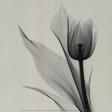 Pinkfarbene Tulpe Kunstdrucke von Marianne Haas