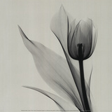 Tulip Print by Marianne Haas