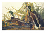 Mallard Duck Posters by John James Audubon