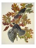 Mésangeai du Canada Posters par John James Audubon