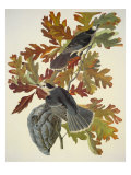 Canada Jay Prints by John James Audubon