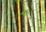 Bamboo Forest, Sagano, Japan Art by Rob Tilley