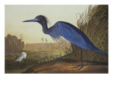 Blue Crane Or Heron Plakat autor John James Audubon