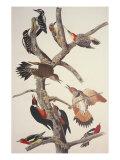 Pic chevelu Posters par John James Audubon