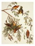 American Crossbill Giclee Print by John James Audubon