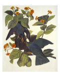 White-Crowned Pigeon Prints by John James Audubon