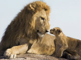 Lion Cub and Male Adult, Kenya Kunstdrucke von Suzi Eszterhas
