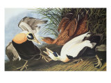 Eider Duck Prints by John James Audubon