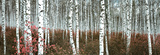 Silver Birch Forest, China Prints