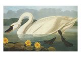 Common American Swan Poster by John James Audubon