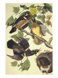 Summer Or Wood Duck Giclee Print by John James Audubon