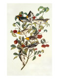 Audubon's Warbler Affiche par John James Audubon