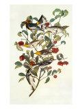 Audubon's Warbler Print by John James Audubon