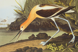 Braunhals-S&#228;belschn&#228;bler Gicl&#233;e-Druck von John James Audubon