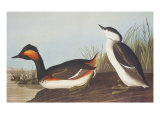Eared Grebe Posters by John James Audubon