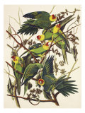 Carolina Parrot Giclee Print by John James Audubon