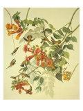 Ruby-Throated Hummingbird Poster af John James Audubon
