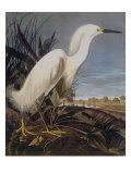 Snowy Heron Or White Egret Posters by John James Audubon