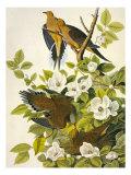 Colombes de Caroline Affiche par John James Audubon