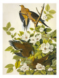 Carolina Turtle Dove Giclee Print by John James Audubon