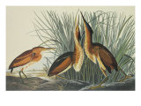 Least Bittern Poster by John James Audubon