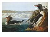 Goosander Posters by John James Audubon