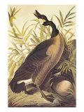 Bernache du Canada Posters par John James Audubon