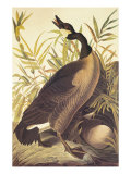 Canada Goose Art by John James Audubon
