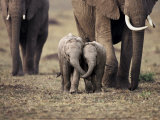 Baby Elephant, Masa Mara, Kenya Prints by Anup Shah