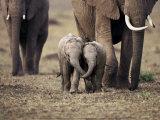 Baby Elephant, Masa Mara, Kenya Prints by Anup Shah