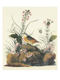 Yellow-Winged Sparrow Print by John James Audubon