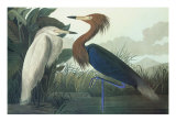 Purple Heron Prints by John James Audubon
