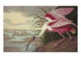 Roseate Spoonbill Plakaty autor John James Audubon