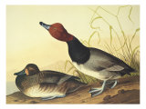 Red-Headed Duck Poster by John James Audubon