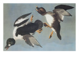 Golden-Eye Duck Prints by John James Audubon