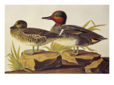 American Green-Winged Teal Prints by John James Audubon