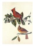 Cardinal Grosbeak Plakaty autor John James Audubon