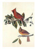 Cardinal Grosbeak Giclee Print by John James Audubon