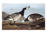 Barnacle Goose Prints by John James Audubon