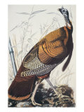 Wild Turkey Posters by John James Audubon