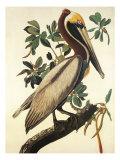 Brown Pelican Reprodukcje autor John James Audubon