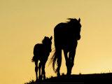 Two Mustangs Prints by  Klein & Hubert