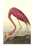 Amerikansk flamingo Gicléetryck på högkvalitetspapper av John James Audubon