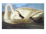Trumpeter Swan Prints by John James Audubon