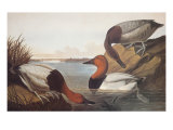 Canvas-Backed Duck Prints by John James Audubon